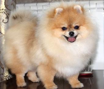 купить собака шпиц фото и цена