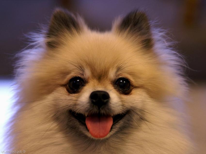 Продам щенка шпица